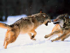 wolves-fighting