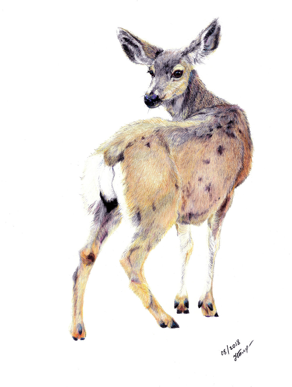 DEER  • 14 X 11 • COLORED PENCILS ON PAPER •  $2,000