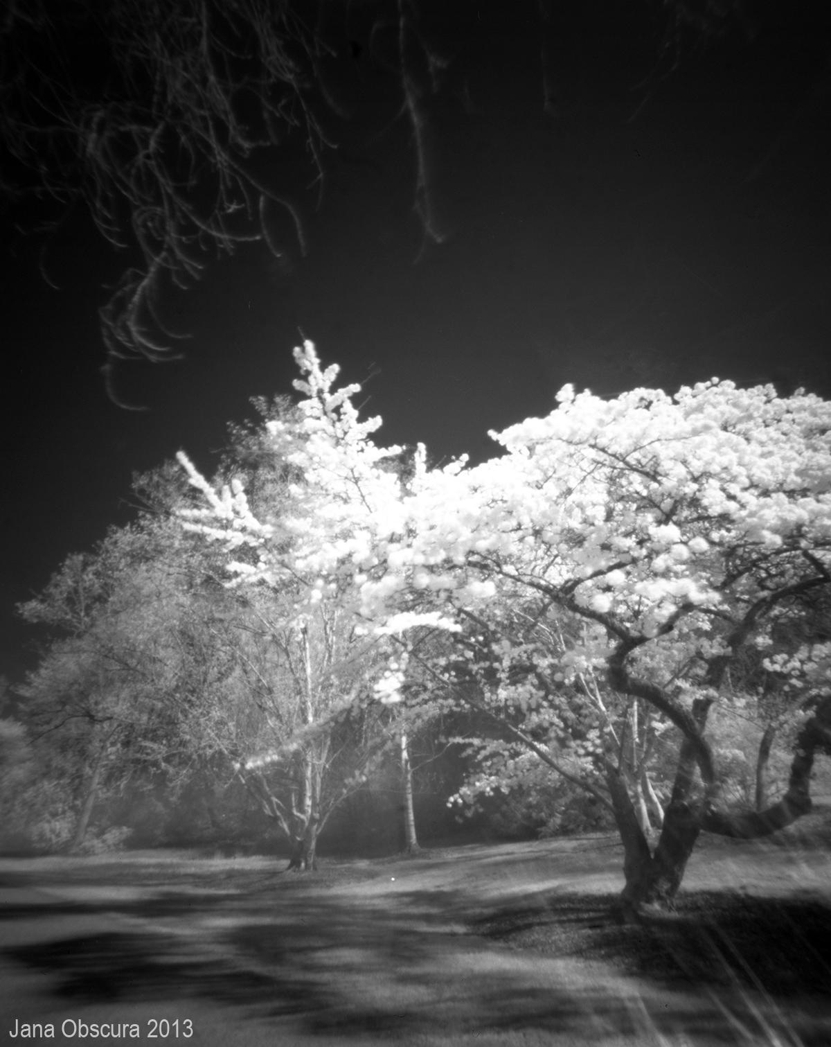 arboretum sakura