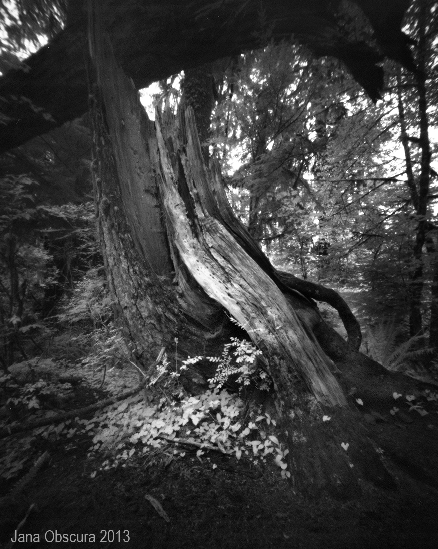 Hoh tree