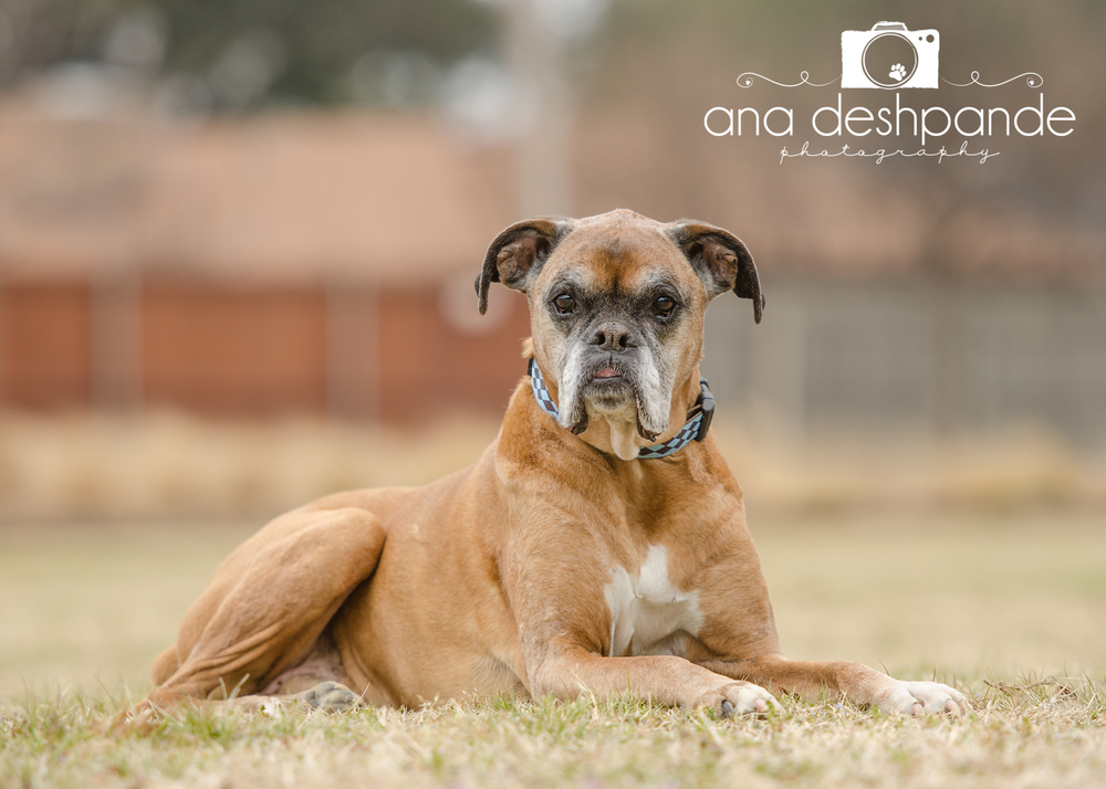 Hammer, who owns Legacy Boxer Rescue's President Sharon Sleightor and her husband, Damon Sleightor, is gracing the cover of next year's calendar. Rightly so, as he is the inspiration behind Legacy Boxer Rescue.