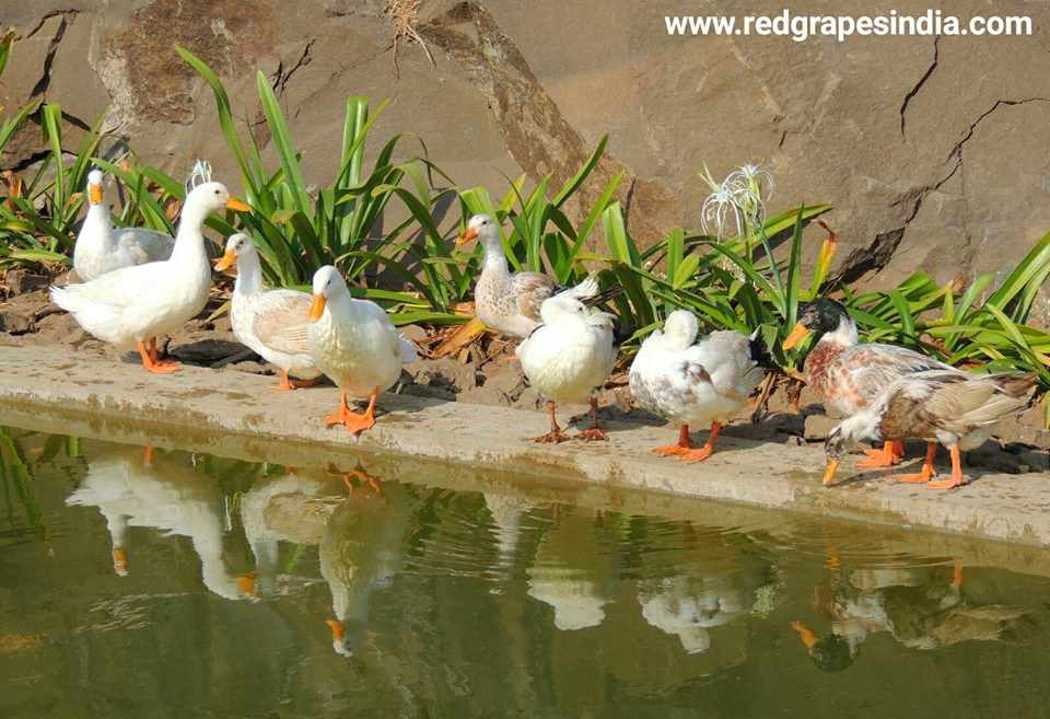 Beautiful white ducks on 26th Jan Republic day celebration at Wine information center by Red Grapes at Wine park, Vinchur, Nashik, Maharashtra, India