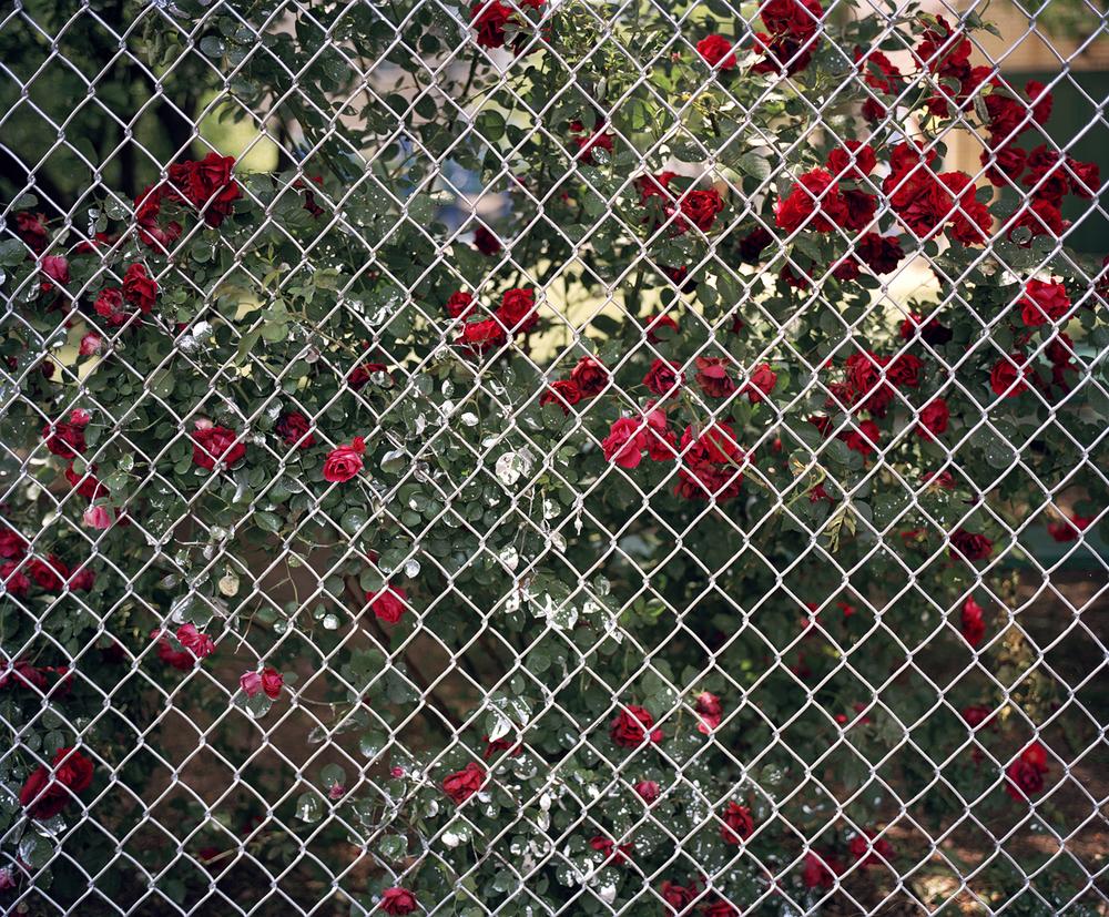 """Roses, Chicago  20x24"""" archival inkjet print"""