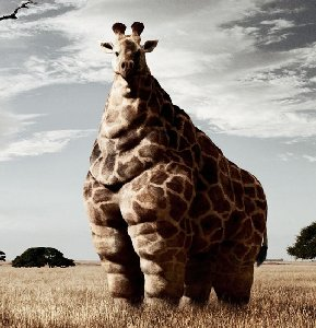 giraff-fat