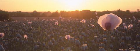 poppy-480