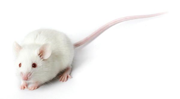 where the white lab mouse came from thomas goetz