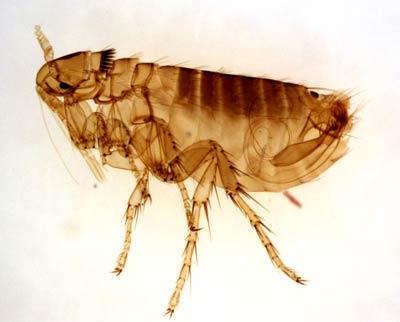 29-flea-1