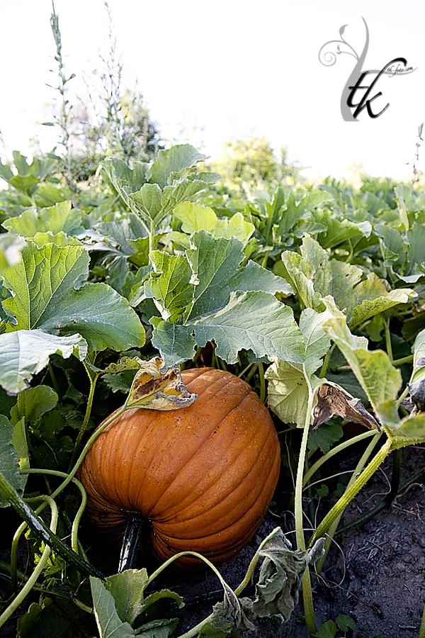 Pumpkin Patch - Boise Idaho Photographer
