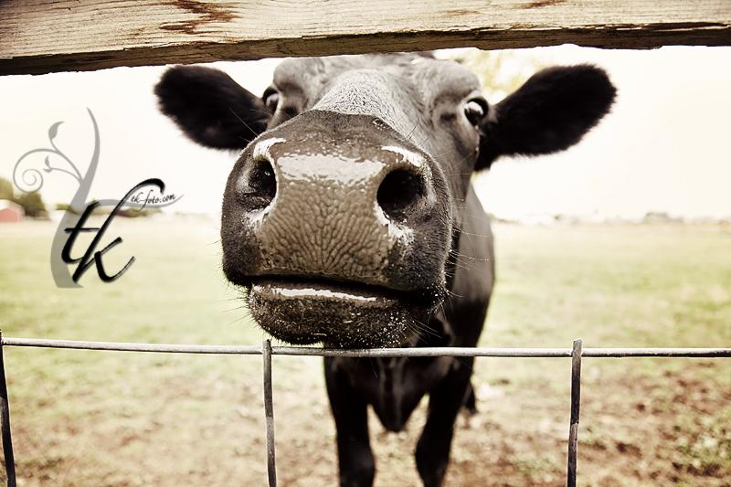 Closeup of a Cow - Boise Idaho Photographer