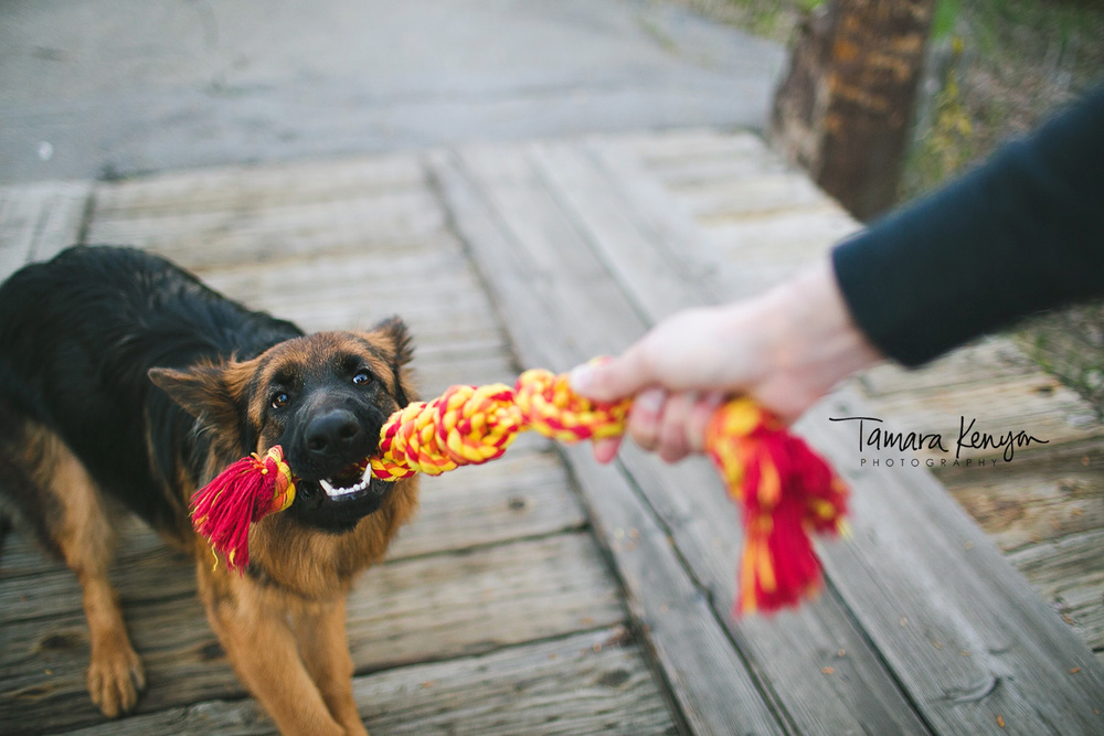 german shepherd playing tug of war