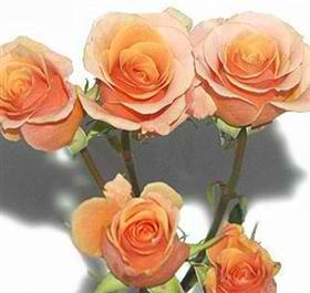 apricot spray rose