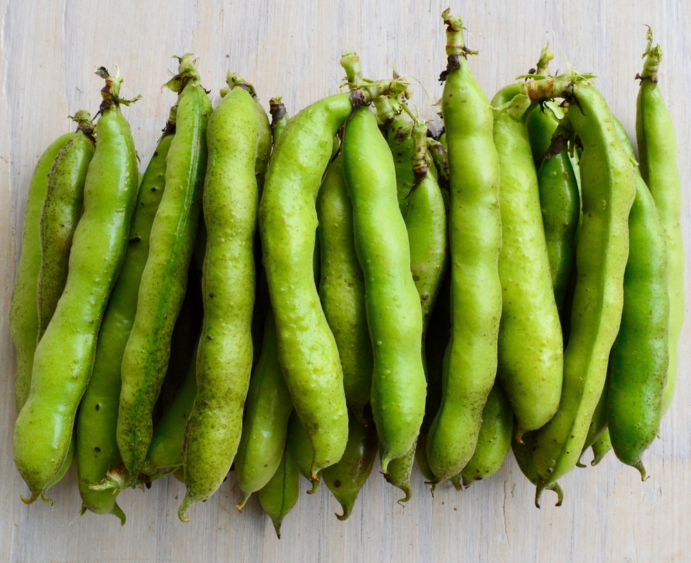Fava Beans freshly picked