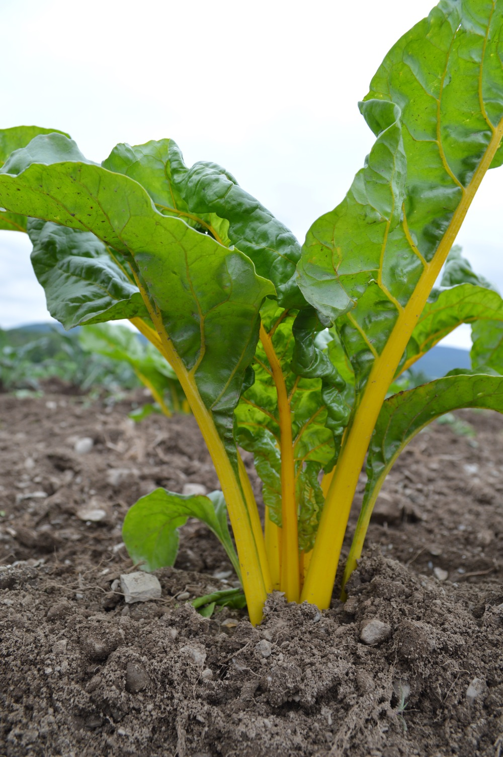 Bright Lights Chard (yellow)