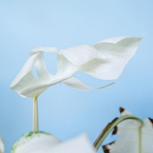 Second all white leaf in a month. If she keeps this up, she's not going to survive. Sure is magically beautiful though! ______ #MonsteraMonday #monstera #monsteraborsigiana #monsteraborsigianavariegata #monsteradeliciosaborsigiana #monsteradeliciosavariegata #putaplantinit #plantgoals #plantsofinstagram #iamaplanthoarder #livingwithplants #indoorjungle #indoorgarden #plantgang #plantparenthood #lostinplantslation #houseplantclub #botanicalpickmeup #greenery #houseplants #dreamingofplants #interiorrewilding #indoorplants #houseplants #indoorjungle #indoorgreenery #indoorgreen #greenery