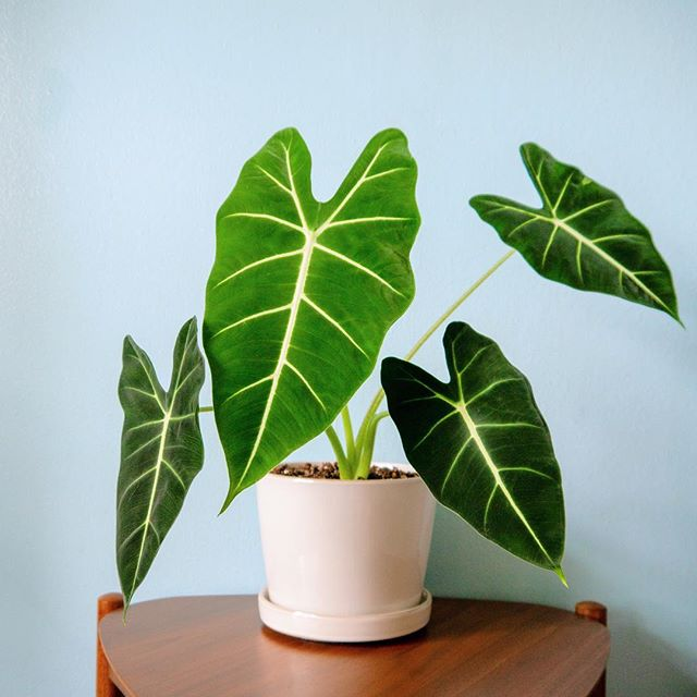 Meet my alocasia micholitziana 'Frydek'. Also known as alocasia green velvet due to their lush velvety leaves.  She's been keeping three consistent leaves at all times and even almost died a couple months ago. But look at her now! Latest (fourth!!) leaf is over double the size of previous ones. What a comeback!  I think alocasia may be my favourite. ♥️