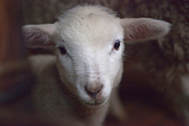 One more awww-pic so you can see all the adorableness at work. A BABY SHEEP!