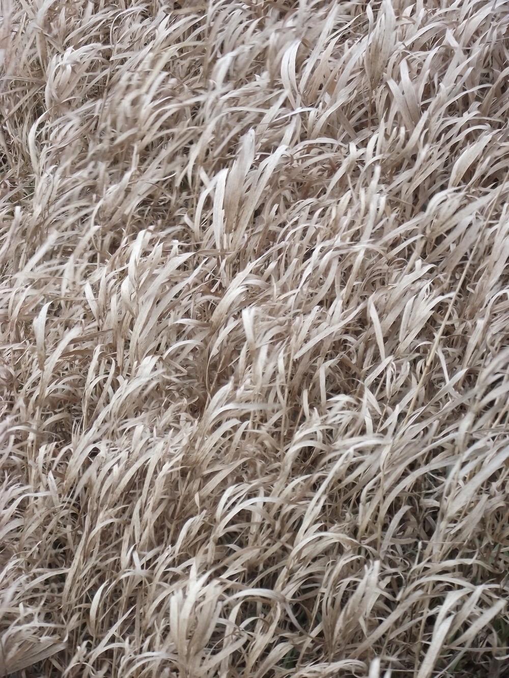 White Grass.JPG