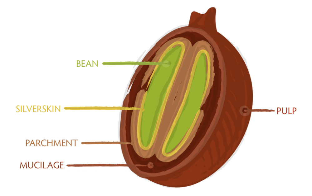 bean-cross-section-1024x644.png