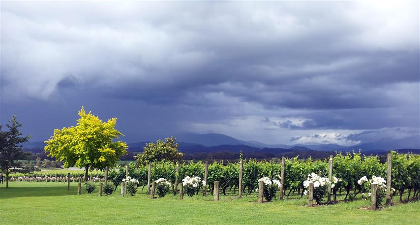 This is the view from the Chandon Winery further up near Healesville. It has to be one of the prettiest places in the valley. It always takes my breath away. The storm clouds in the background added extra contrast and drama to the atmosphere. i love it!
