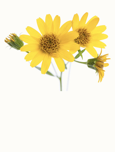 Arnica is great for bruises, sprains, and swelling and for the relief of arthritis, muscle, and joint pain.