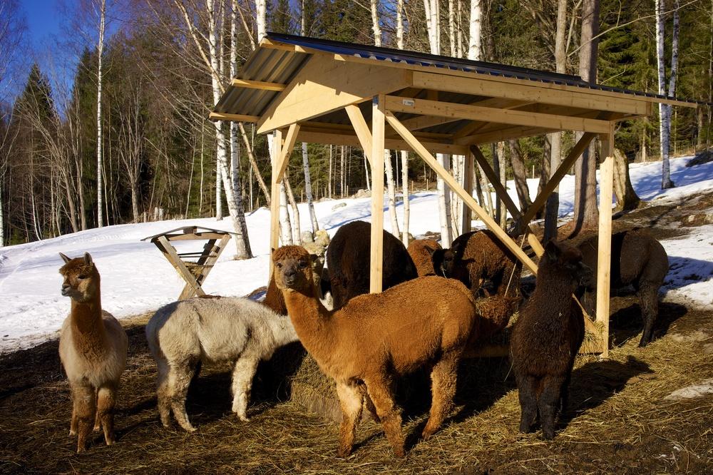 Alpakkaene koser seg i vårsolen