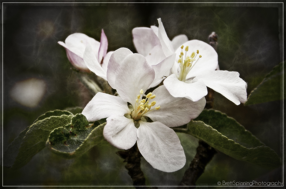 CLICK ON PIC to BLOW it UP into a LIGHT-BOX. This is a beautiful complex textured background with a smooth sharp apple blossom in the foreground. Get a full view of this one and fill your screen because the bigger the better on this one. Many more UPLOADS COMING DAILY!