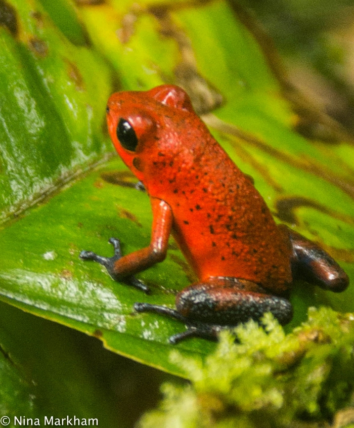 Strawberry Poison Dart Frog at La Suerte (1 of 1).jpg