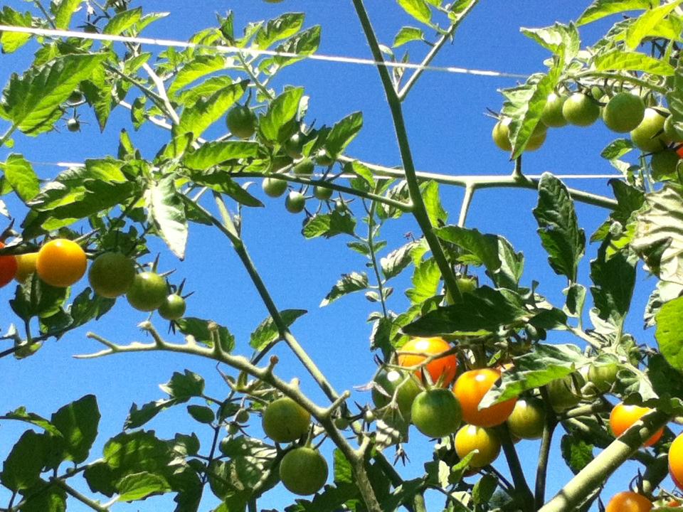PYO Tomatoes