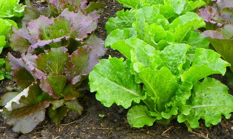 LettucePlants.jpg