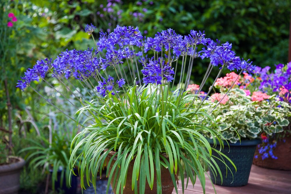 Agapanthus 'Brilliant Blue' - Deciduous. Dark blue flowers are produced on a compact plant. Very free flowering. Height 50cm and spread 45cm. -10 to-15CAvailable