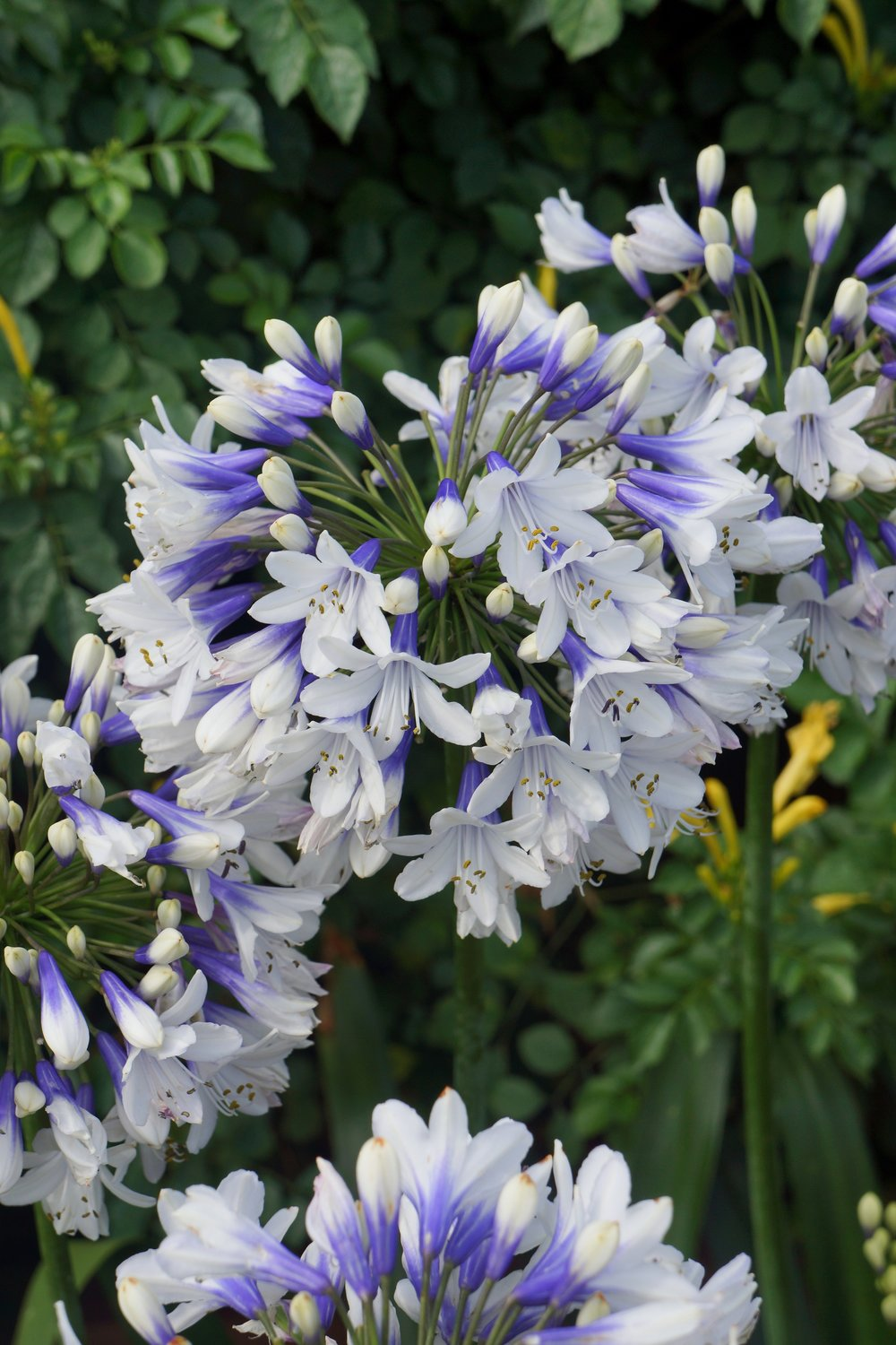 Agapanthus 'Twister' - Deciduous. Bi colour open trumpet flowers, blue in the centre to white on the petal edge. Height 50cm and spread 60cm. -10 to -15CAvailable
