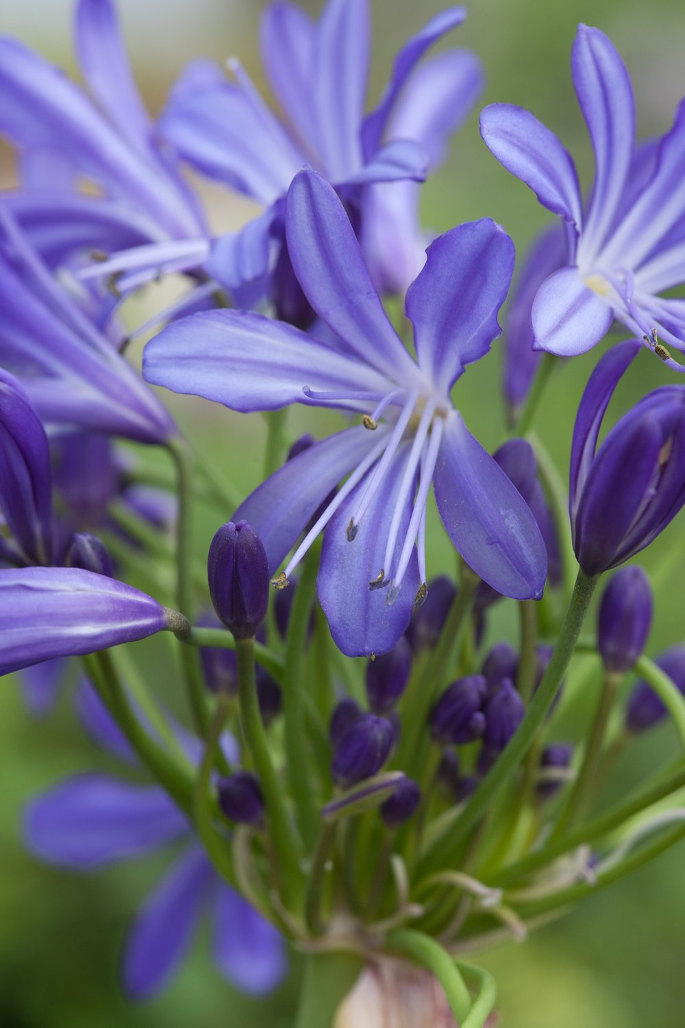Agapanthus'African Skies' - Evergreen. A strong and striking Plant. Large rounded flowerhead on strong upright stems. Mid blue flowers with a darker stripe through each petal. Height 1m and spread 50cmAvailable