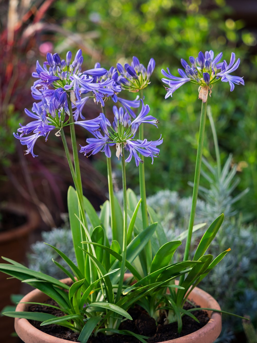 Agapanthus'Charlotte' - Evergreen. Clusters of blue star-shaped flowers are produced on this lovely compact variety. Height and spread 50cm. 1 to -5CAvailable