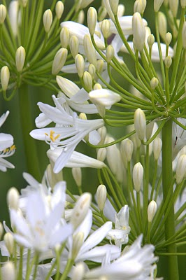 Agapanthus'Bridal Bouquet' - Evergreen. Large open white flower heads are produced earlier than most agapanthus. Full sun. Height 60cm and spread 60cmAvailable