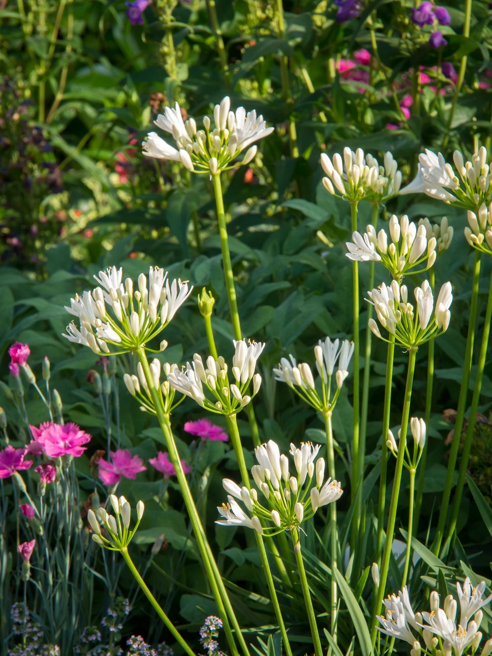 Agapanthus'White Pixie' - Evergreen. Small flowerhead of many individual white florets. Height and spread 40cmAvailable