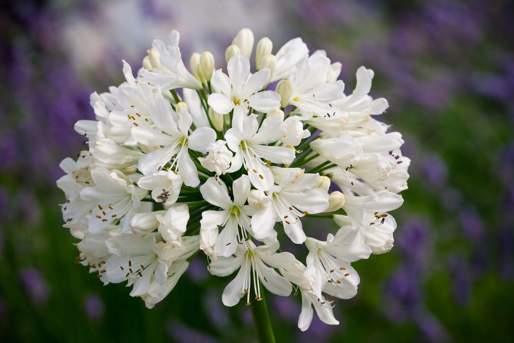 Agapanthus'Snow Crystal' - Evergreen. White flowers are produced on tall upright stems. Prefers full sun. Height 80cm and spread 50cmAvailable
