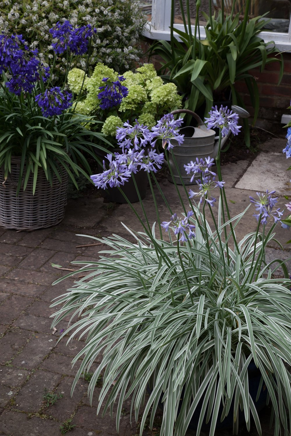 Agapanthus 'Silver Moon' - Deciduous. Green and sliver-white variegated leaves and mid-blue flowers. Height 80cm and spread 50cmAvailable