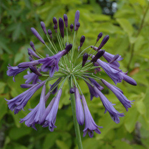 Agapanthus'Purple Cloud' - Evergreen. Large purple-blue flower heads. Full sun. Height 80cm and spread 50cmAvailable