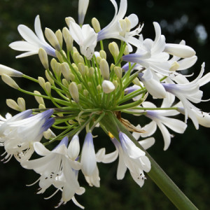 Agapanthus'Queen Mum' - Evergreen. Broad leaves. Bicolour flowers that change from blue in the throat to white at the petal edge. Large flowerhead produced on strong upright stems. Full sun. Height 1m and spread 60cmAvailable