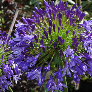 Agapanthus'Regal Beauty' - Evergreen. Stunning dark blue flower heads of 25cm made up of hundreds of individual florets. Full sun. Height 1m and spread 60cmAvailable