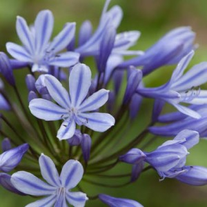 Agapanthus'Sweet Surprise' - Evergreen. Pale blue star shaped flowers with a blue line down the middle of each. When the flowers open they are beautifully star-shaped. Broad leaves. Height 50cm and spread 40cmAvailable