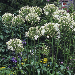 Agapanthus'White Heaven' - Evergreen. Large flowerhead of exquisite pure white florets. Full sun. Height 1m and spread 60cmAvailable