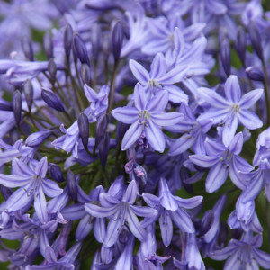 Agapanthus 'Castle of Mey' - Deciduous. Rich blue trumpet shaped flowers forming open clusters on top of slender but sturdy stems. Full sun. Height 60cm and spread 45cmAvailable