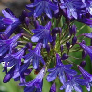 Agapanthus 'Northern Star' - Deciduous. Bred in Devon. Dark purple buds open to star shaped flowers that are blue with darker purple stripes down each petal. Very free flowering. Full sun. Height 75cm and spread 60cmAvailable