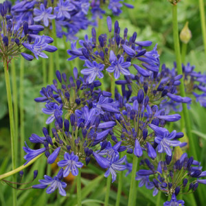 Agapanthus 'Sandringham' - Deciduous. A crown estate Windsor selection with dark violet blue flowers with a darker midrib. Height 60cm and spread 40cmAvailable
