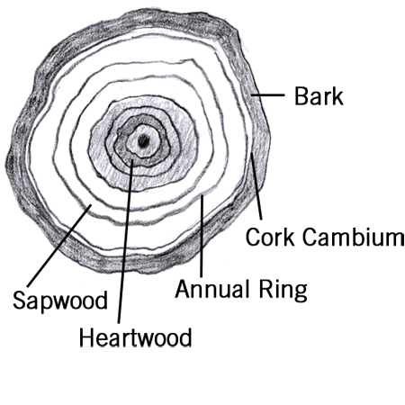 Tree anatomy (cwf-fcf.org)
