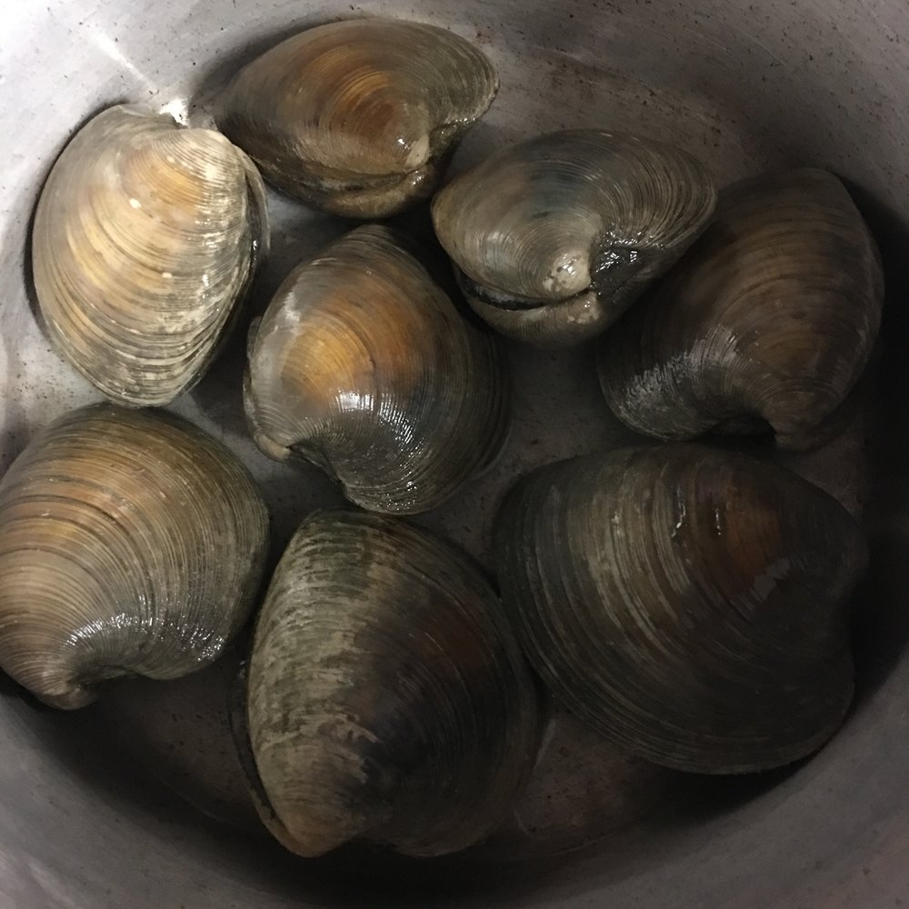 Plump quahog clams ready for a steam!