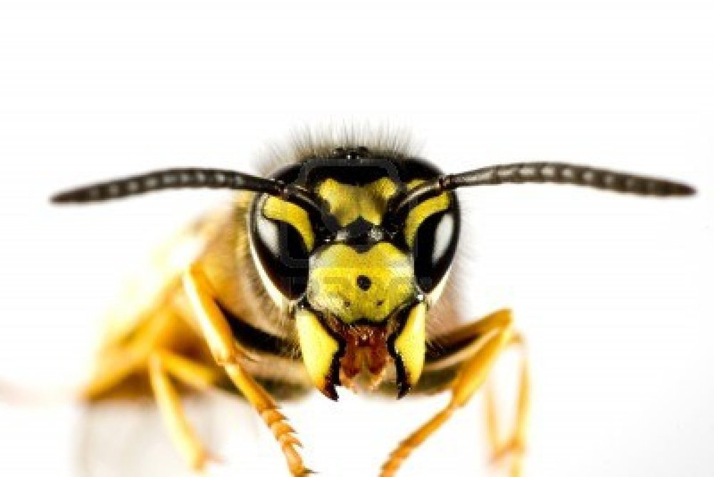 10019630-head-of-wasp-in-extreme-close-up-with-white-background-and-blured-body.jpg