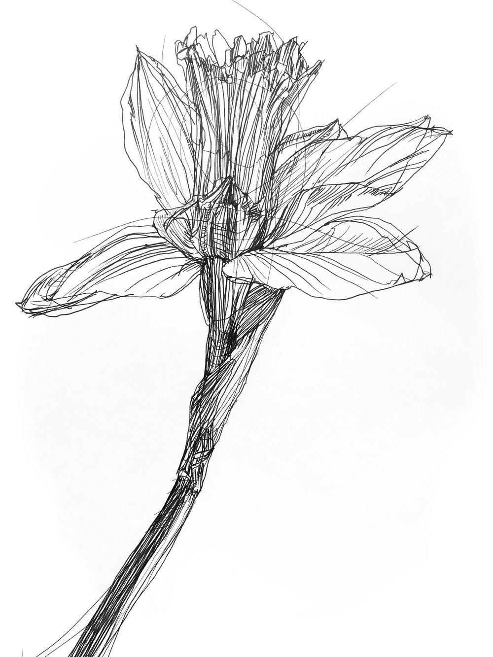 Fresh Daffodils 2