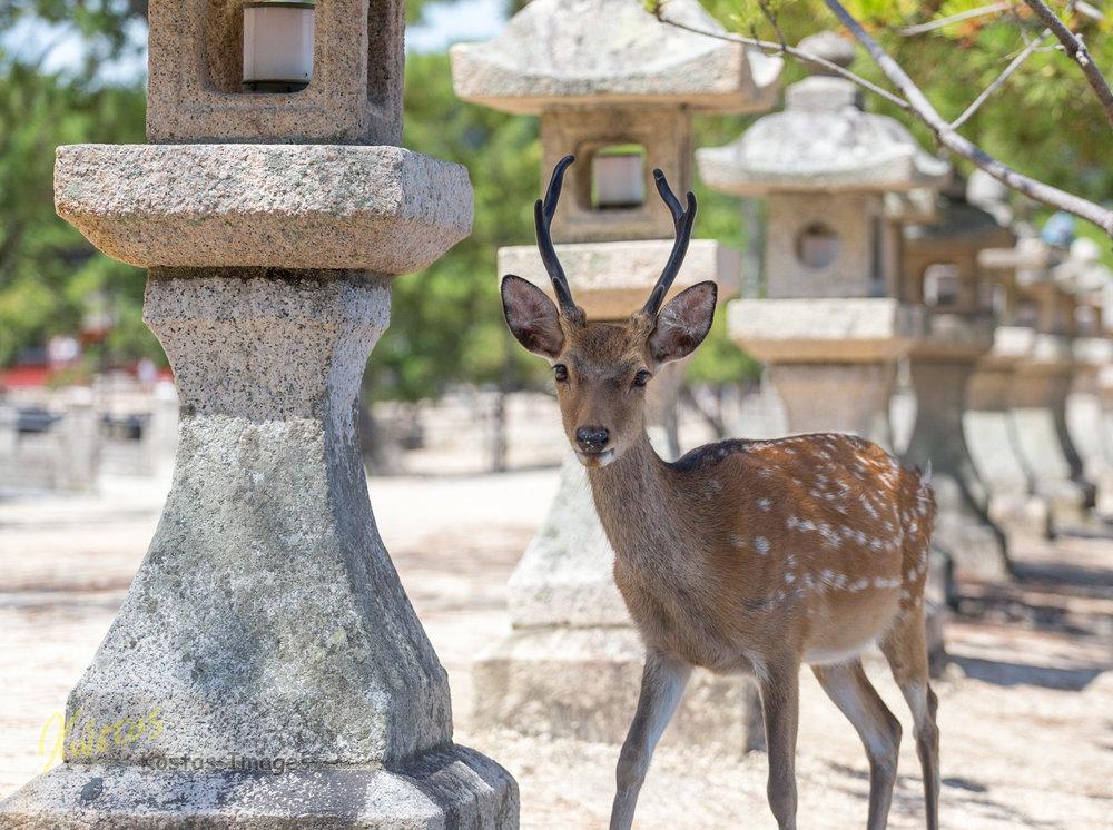 20160827-IMG_4353-Deer at Itsukushima Island.jpg